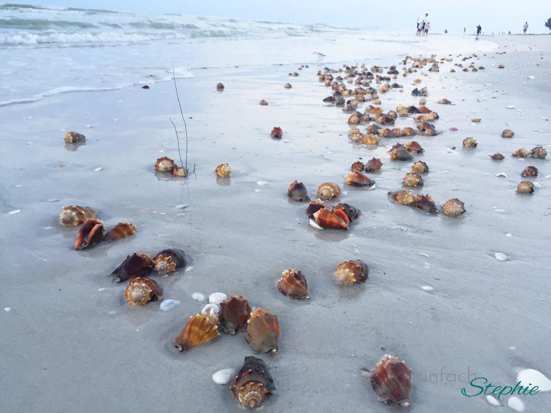 Florida mit Kindern: Sanibel Island. Sonnenaufgang mit großen Muscheln
