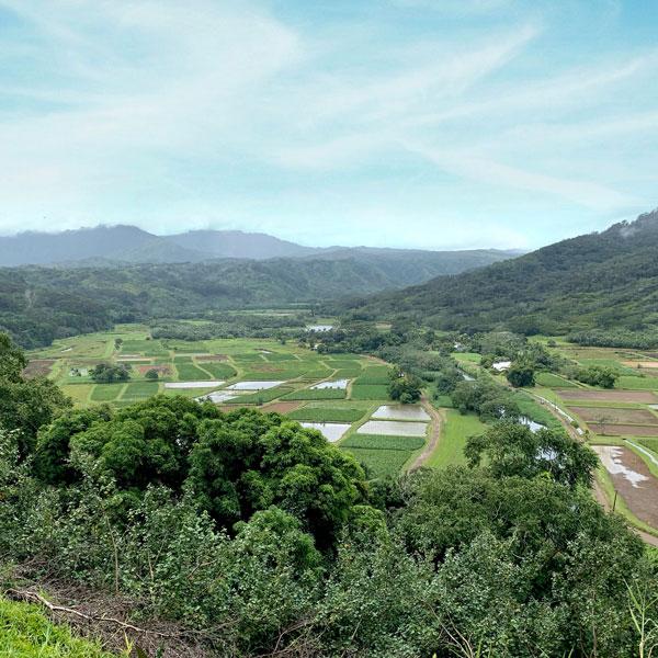 Taro Felder für Poi, eine hawaiianische Spezialität