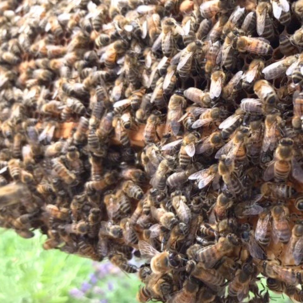 Honigbienen vom eigenen Bienenstock. Hobbyimker werden